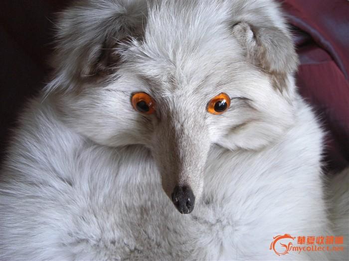 很可爱很妖媚的白狐(北极狐)